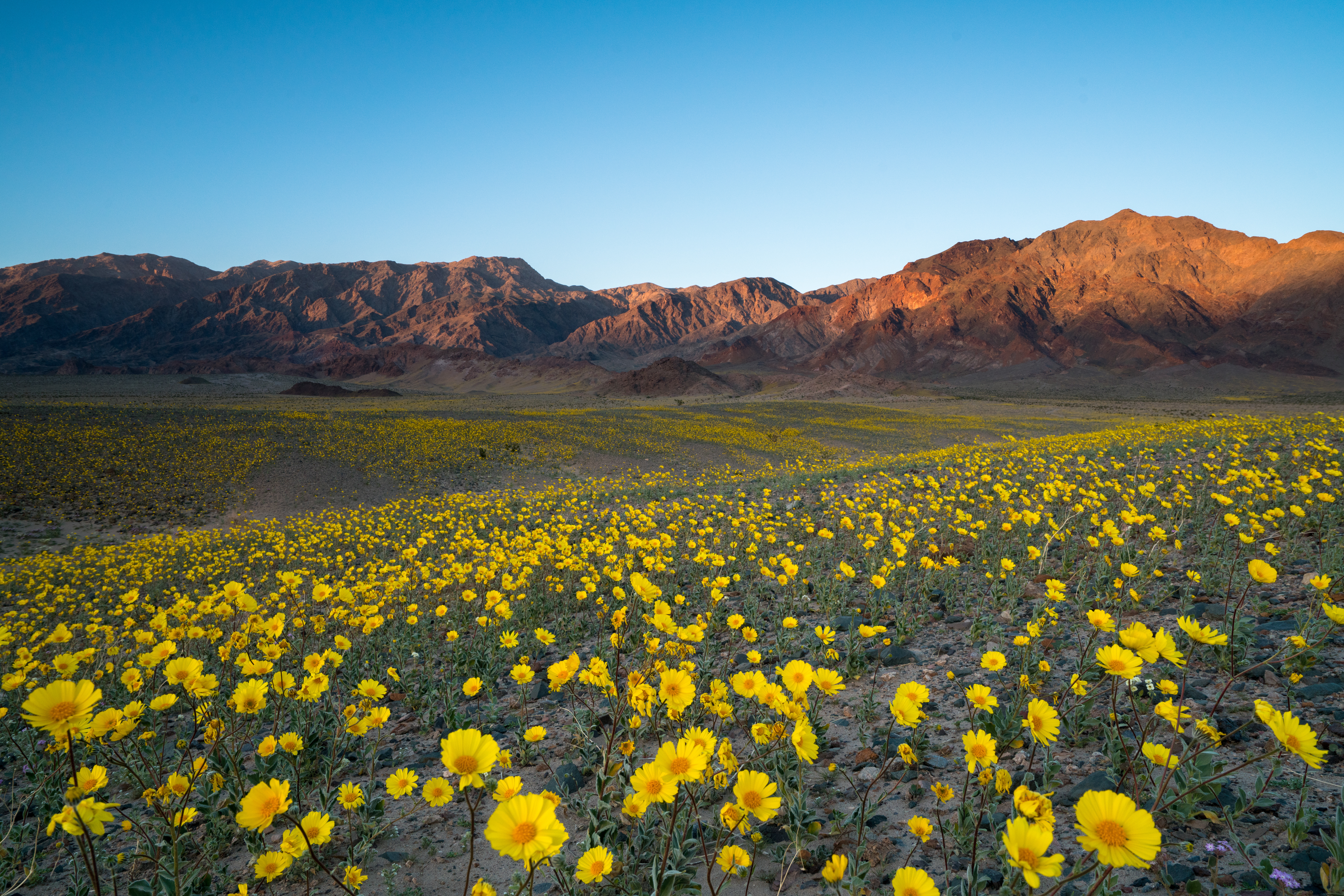Wildflower-super-bloom-in-spring