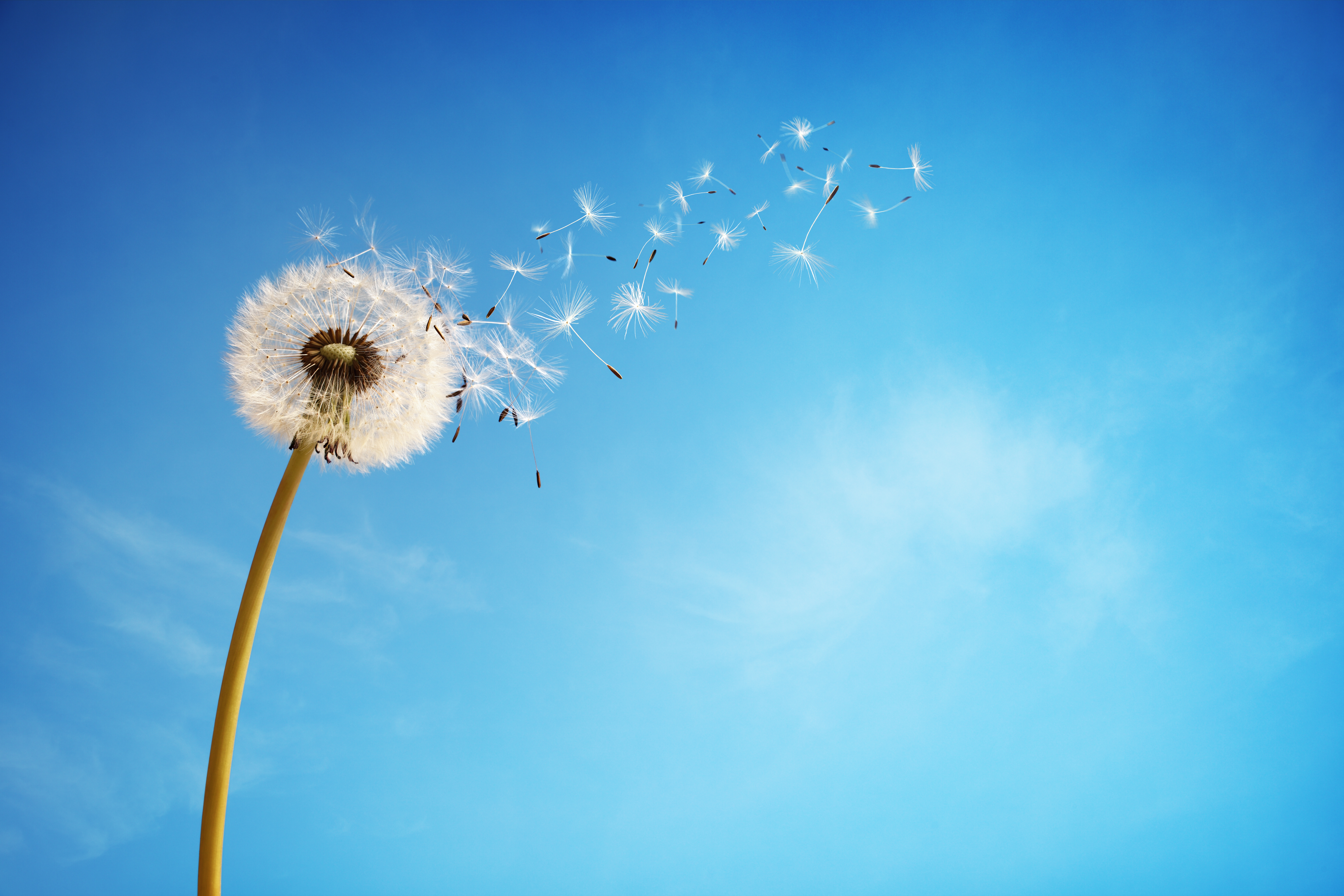 Dandelion_with_seeds_blowing_away