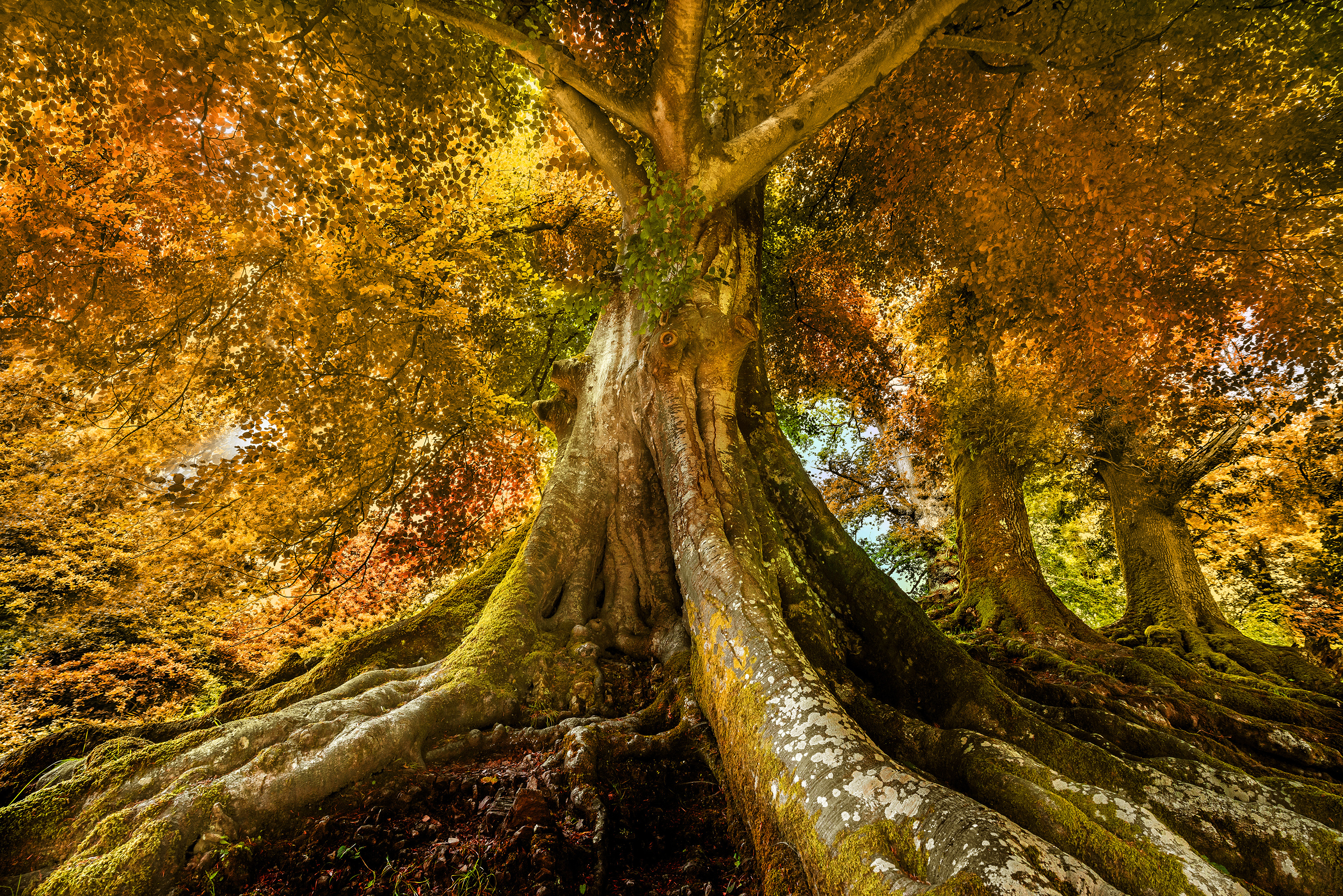 Big-Old-tree-in-autumn-time-3000
